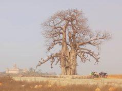 ओरछा का बेओबाब ट्री (कल्प वृक्ष)